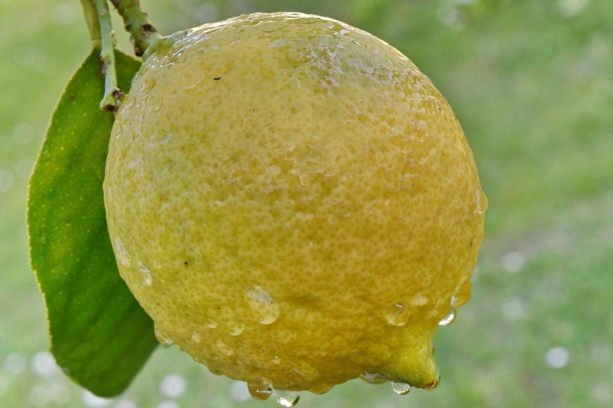 organik, jeruk, jeruk nipis, alam, Makanan, segar, buah, daun, musim panas, tropis
