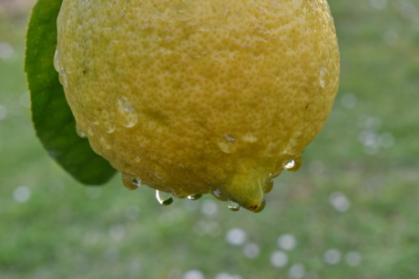 rain, wet, citrus, fresh, lemon, produce, fruit, food, nature, leaf
