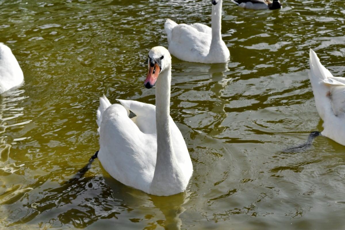 akvatisk fugl, svane, fugl, dyreliv, søen, natur, vand, pool, svømning, vandfugle