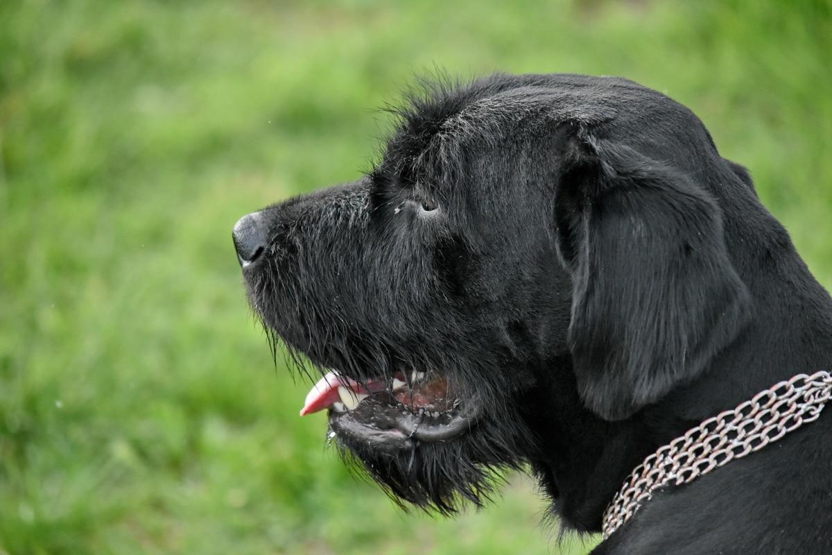 nero, pedigree, verticale, cane, cane da caccia, animale, Canino, cucciolo, erba, carina