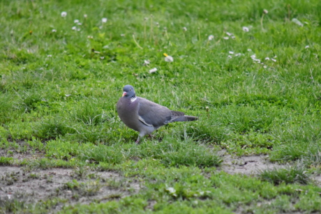 green grass, ornithology, pigeon, wilderness, bird, wildlife, wild, feather, beak, nature