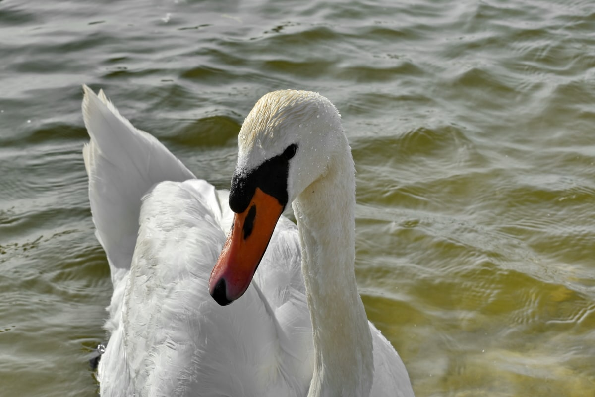 swan, bird, water, aquatic bird, waterfowl, duck, nature, lake, wildlife, outdoors