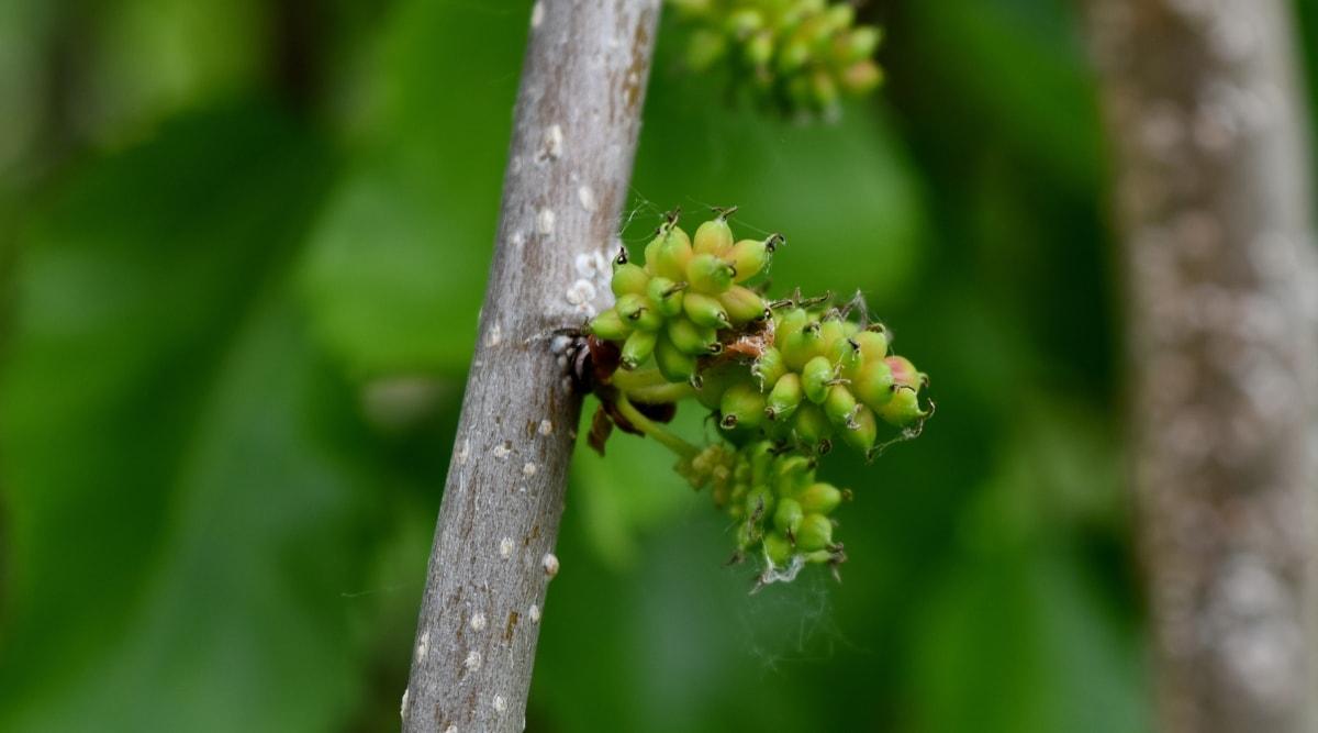 виноградник, природа, виноград, лист, завод, дерево, на відкритому повітрі, літо, сад, розмиття