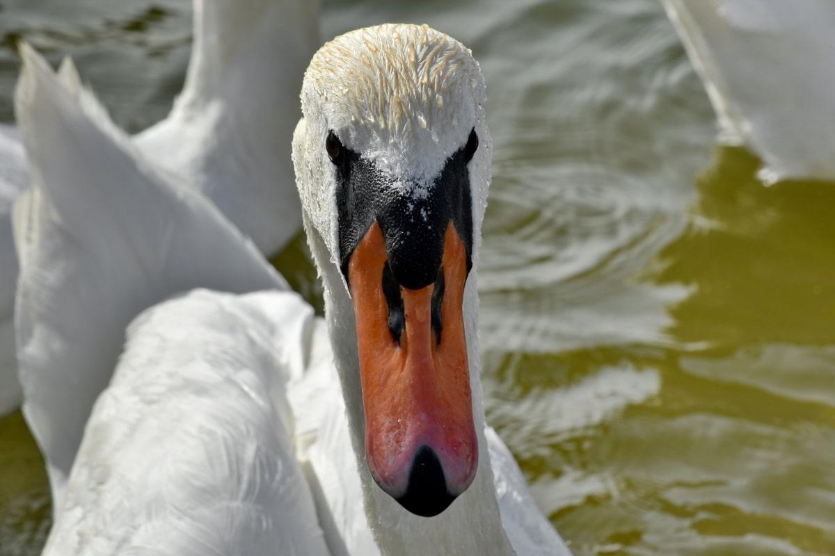 lijepa, glava, portret, labud, vodena ptica, priroda, ptica, ptice vodarice, biljni i životinjski svijet, voda
