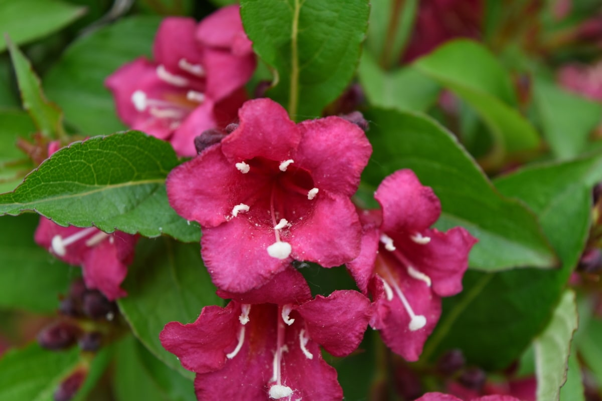 flora, blossom, plant, pink, nature, shrub, leaf, flower, petal, garden