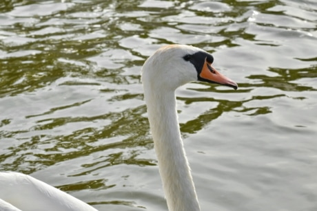 neck, profile, side view, swan, feather, wildlife, bird, waterfowl, water, nature