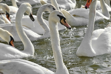 bird family, flock, swan, swimming, bird, water, waterfowl, nature, wildlife, lake