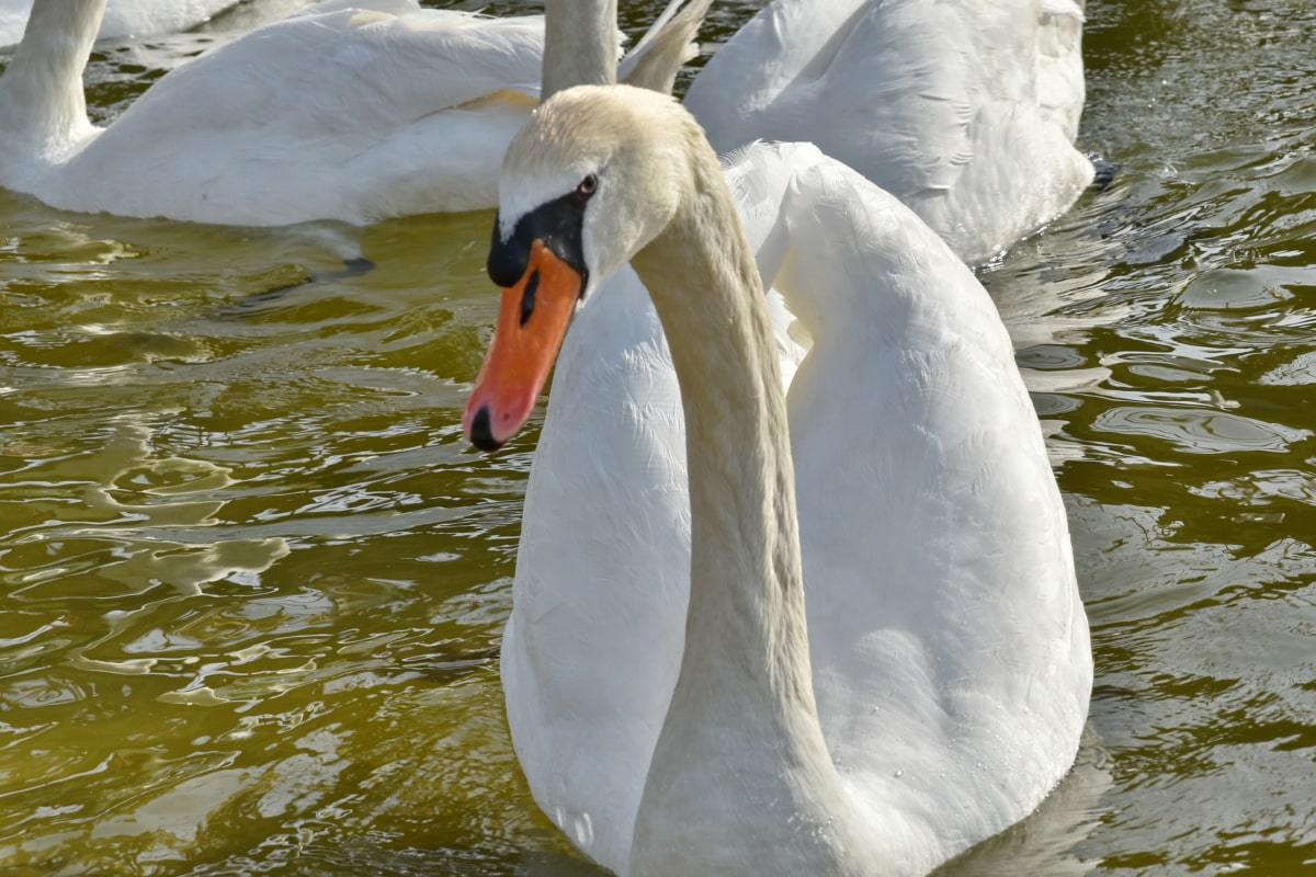 swan, white, water, waterfowl, nature, aquatic bird, bird, lake, outdoors, wildlife