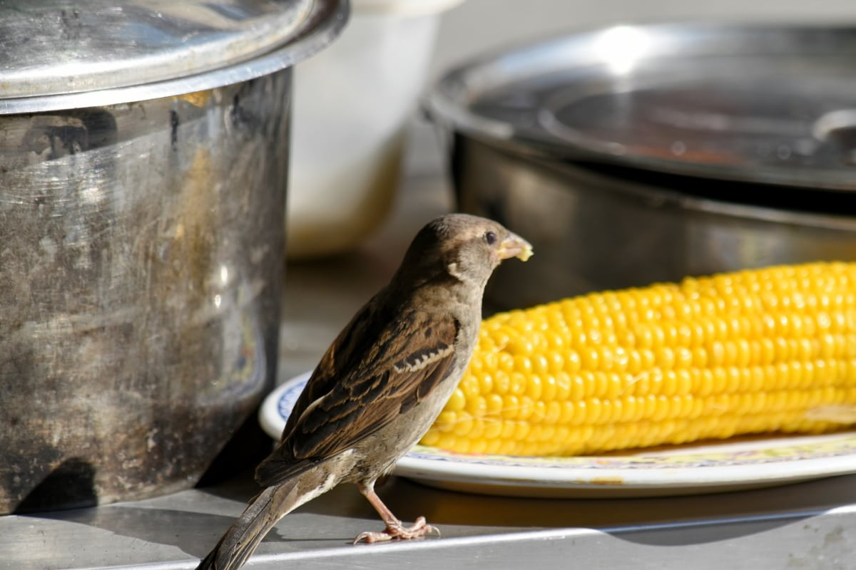 maïs, manger, Sparrow, noyau, sauvage, panache, bec, oiseau, faune, aile