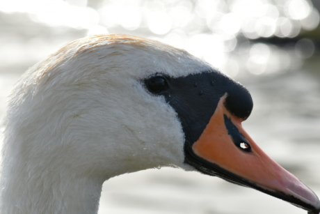 beak, feather, head, neck, swan, wet, wildlife, goose, waterfowl, bird
