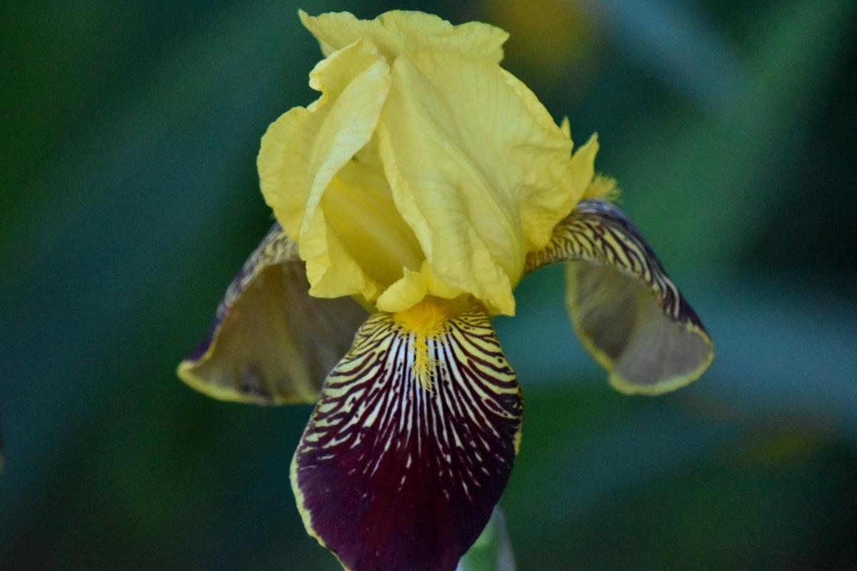fioletowy, żółty, Iris, kwiat, Natura, roślina, ogród, flora, na zewnątrz, Kolor
