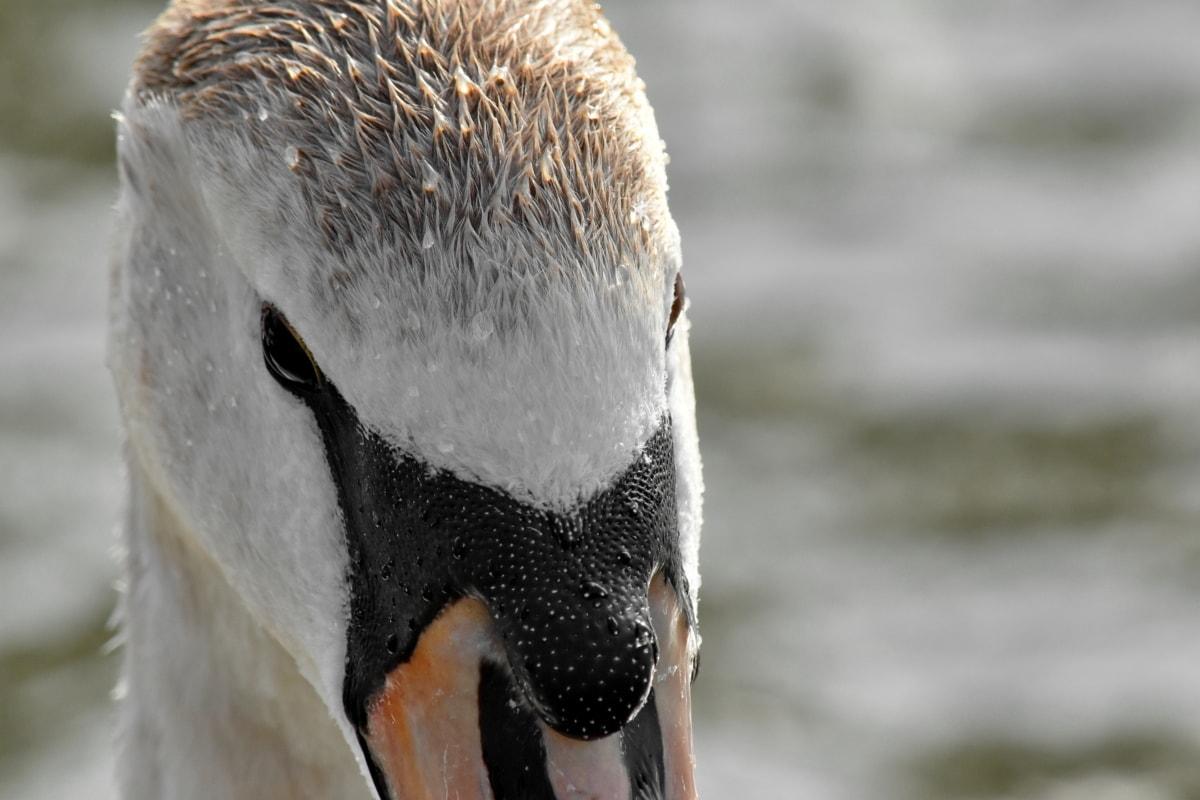 ptica, priroda, biljni i životinjski svijet, voda, na otvorenom, životinja, labud, ptice vodarice, tijekom, pero