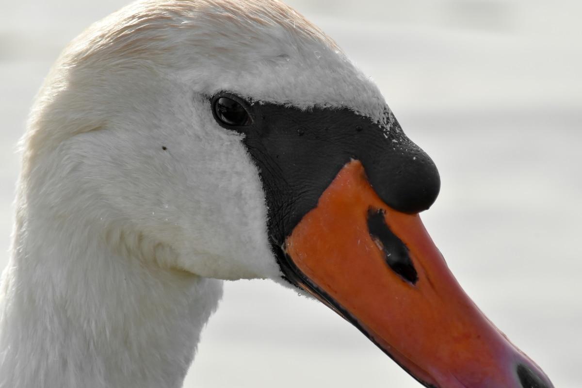 Vodné vták, vodné vtáctvo, vták, voľne žijúcich živočíchov, príroda, voda, vonku, labuť, plávanie, hydina
