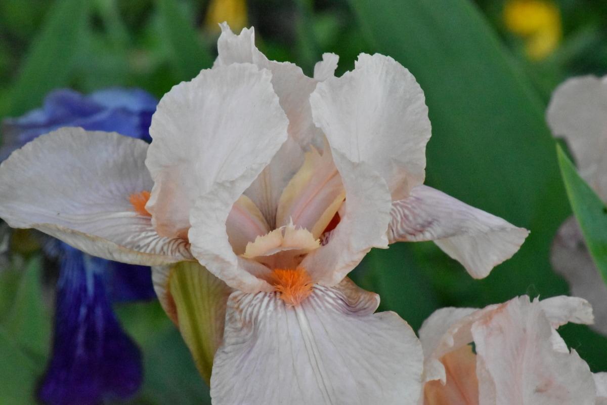 Iris, biely kvet, flóra, rastlín, príroda, kvet, krídlo, Záhrada, kvitnúce, lupienok