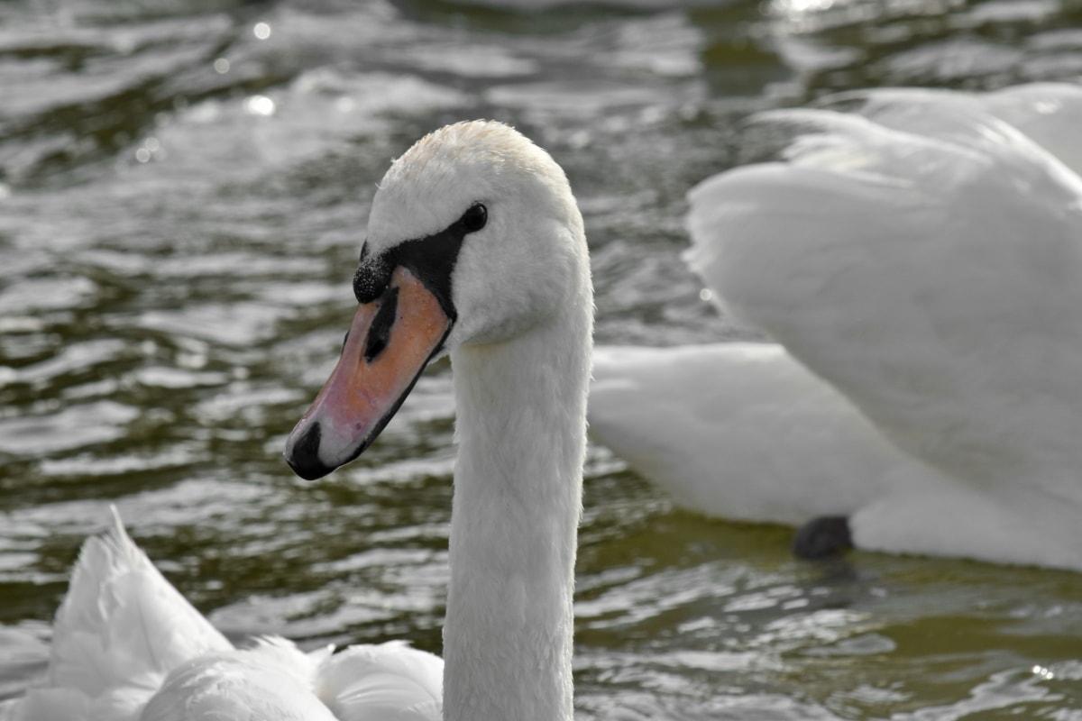 bird, aquatic bird, beak, swan, water, lake, waterfowl, nature, swimming, wildlife