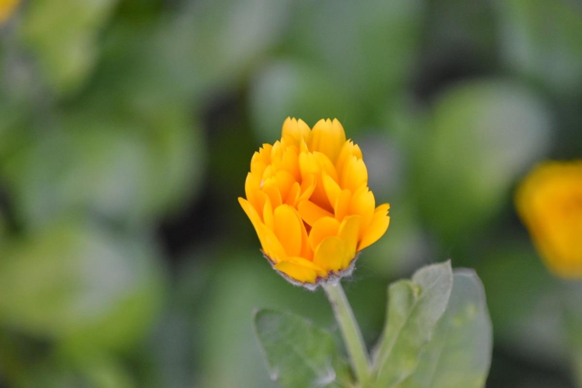 цветна градина, жълто, природата, Пролет, цвете, растителна, листа, билка, флора, лято