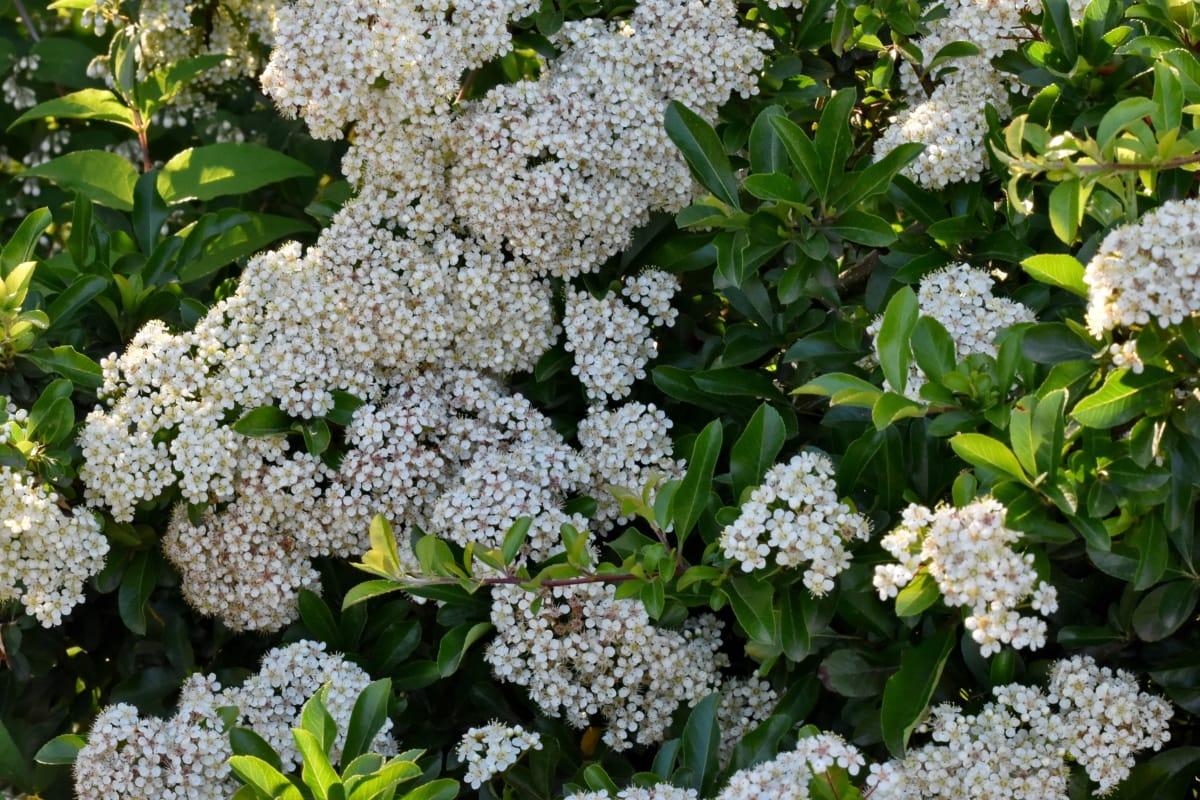 printemps, Printemps, arbuste, plante, flore, fleur, herbe, nature, jardin, feuille