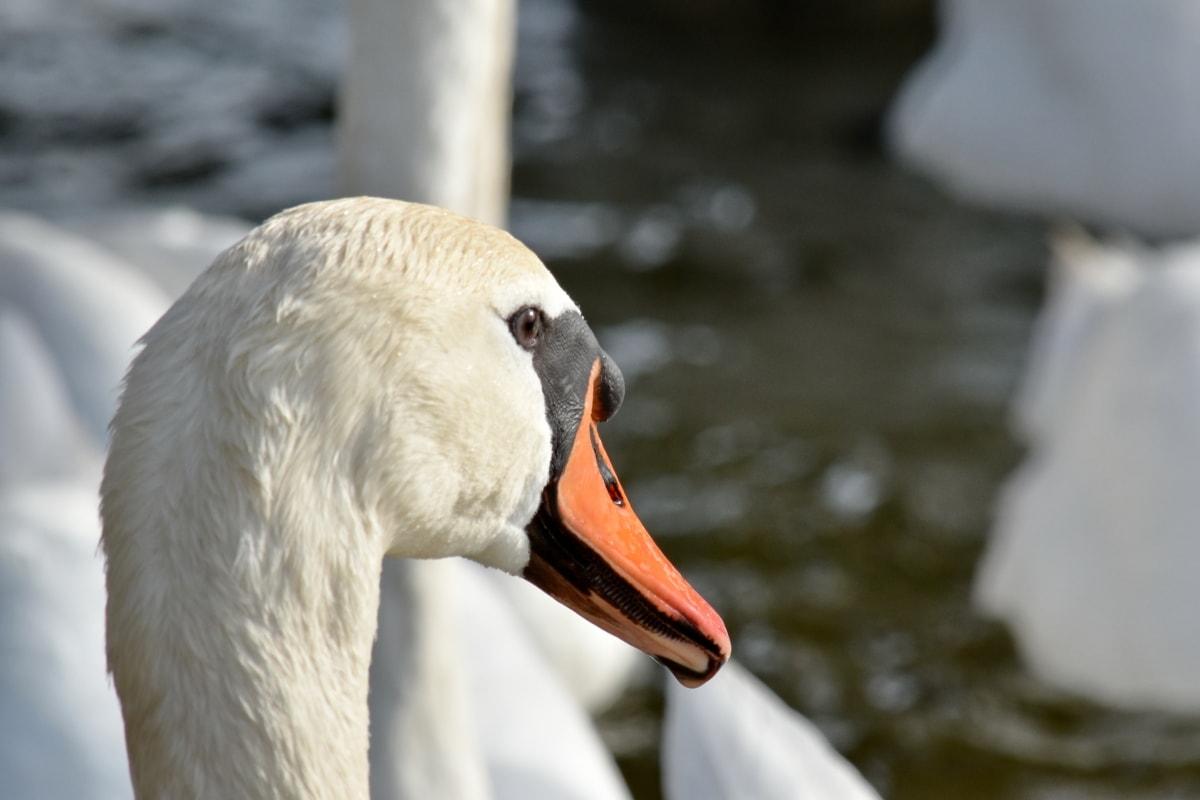 labuť, Vodné vták, vodné vtáctvo, pierko, zobák, vták, voľne žijúcich živočíchov, príroda, jazero, zviera