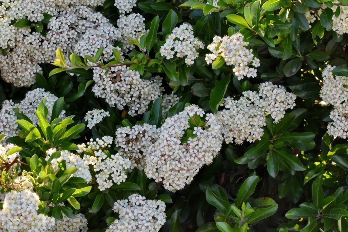branches, buissons, fleur blanche, Printemps, arbuste, fleurs, plante, jardin, flore, nature