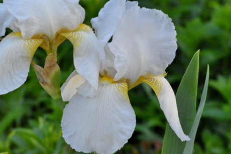 detail, flower garden, white flower, iris, nature, flora, flowers, flower, plant, garden