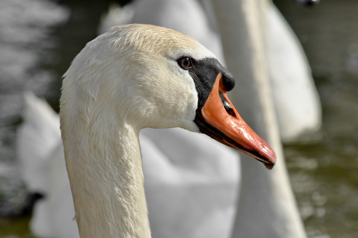 beak, eye, head, nose, swan, wildlife, aquatic bird, waterfowl, bird, nature