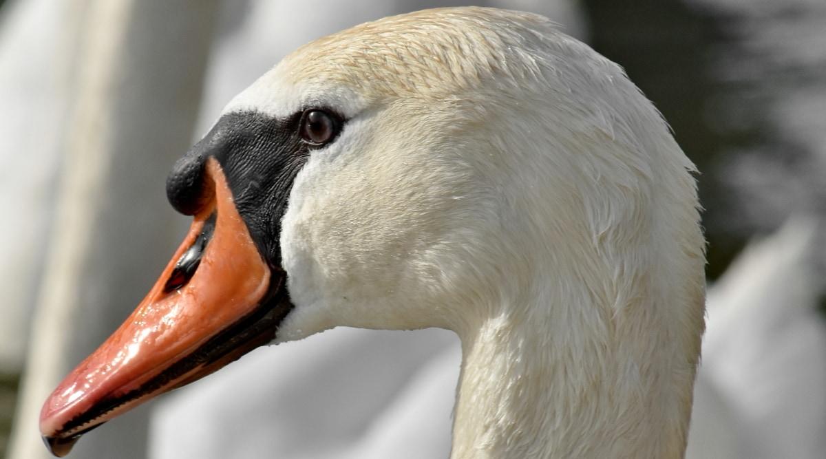 bird, feather, head, portrait, swan, waterfowl, aquatic bird, wildlife, nature, animal
