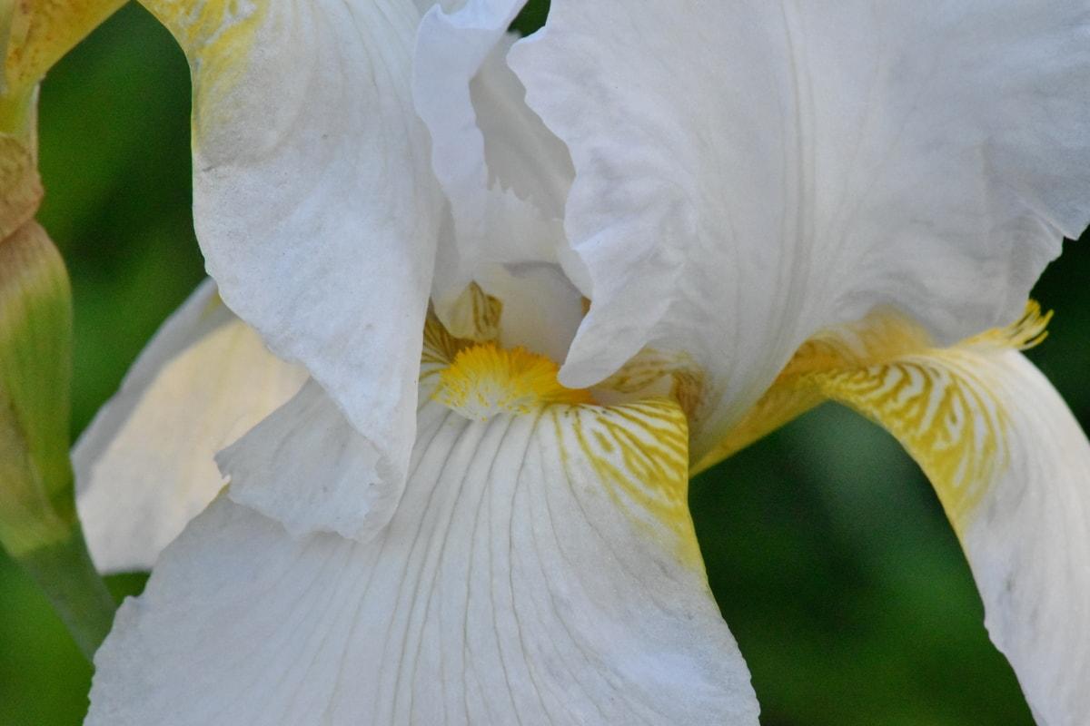 plant, iris, nature, flower, flora, color, upclose, beautiful, garden, blooming