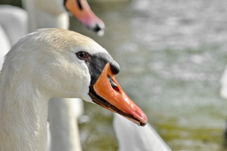 flock, swan, aquatic bird, waterfowl, beak, wildlife, bird, water, nature, outdoors