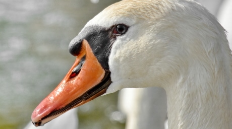 beak, eye, portrait, purity, swan, bird, waterfowl, aquatic bird, wildlife, nature