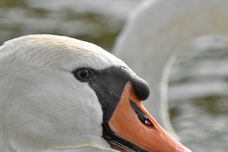 eye, head, portrait, skin, swan, wildlife, bird, waterfowl, nature, aquatic bird