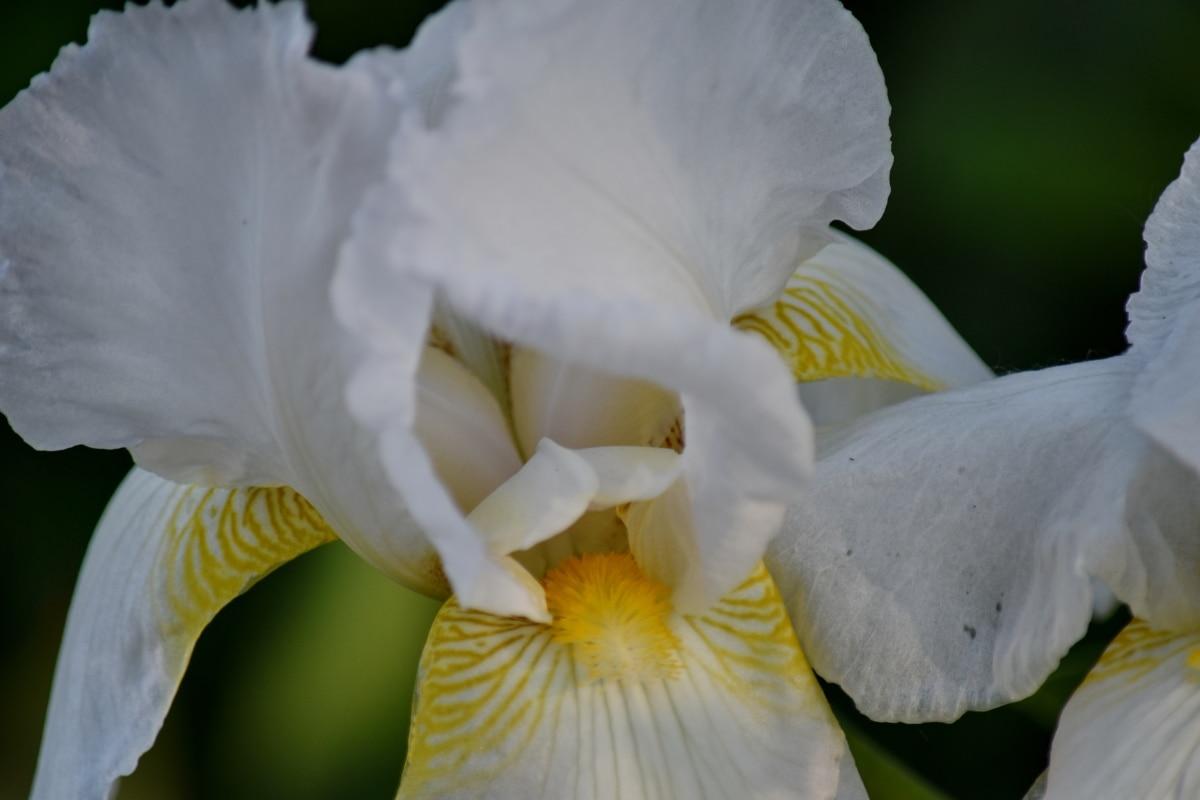 iris, pollen, white, flowers, flower, nature, petal, plant, flora, color