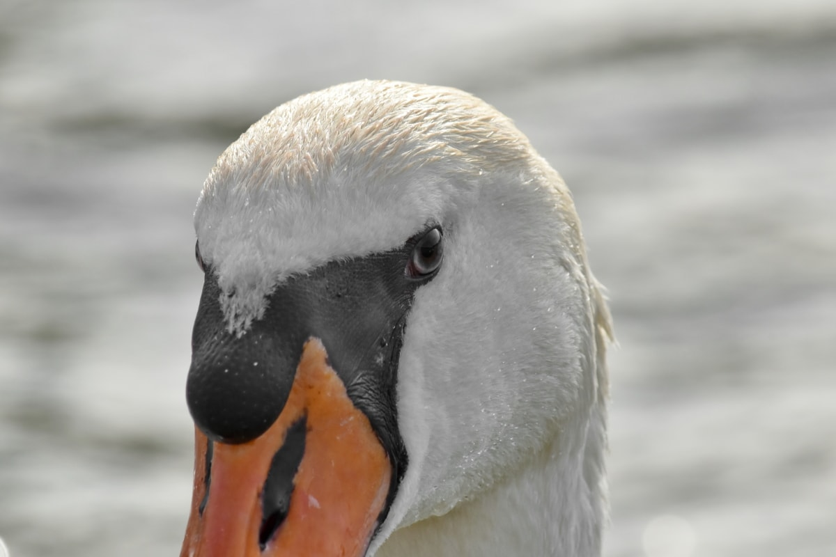 details, head, nose, swan, wildlife, bird, nature, water, aquatic bird, waterfowl