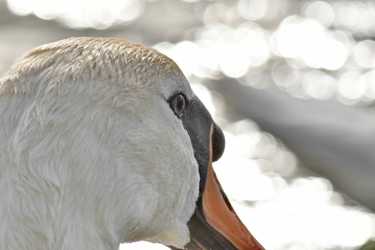 linda, cabeça, raio de sol, Cisne, pena, ave aquática, pássaro, bico, aves aquáticas, vida selvagem