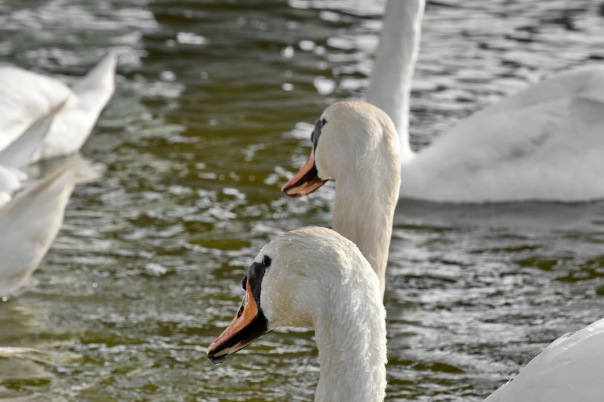 birds, flock, swan, waterfowl, water, bird, lake, wildlife, aquatic bird, pool