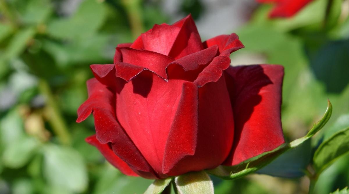 gardening, red, roses, rose, bud, nature, flower, blossom, shrub, leaf