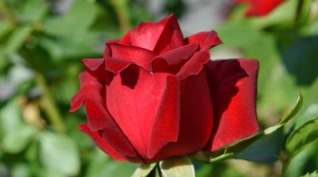 giardinaggio, rosso, Rose, rosa, germoglio, natura, fiore, fiorire, arbusto, foglia