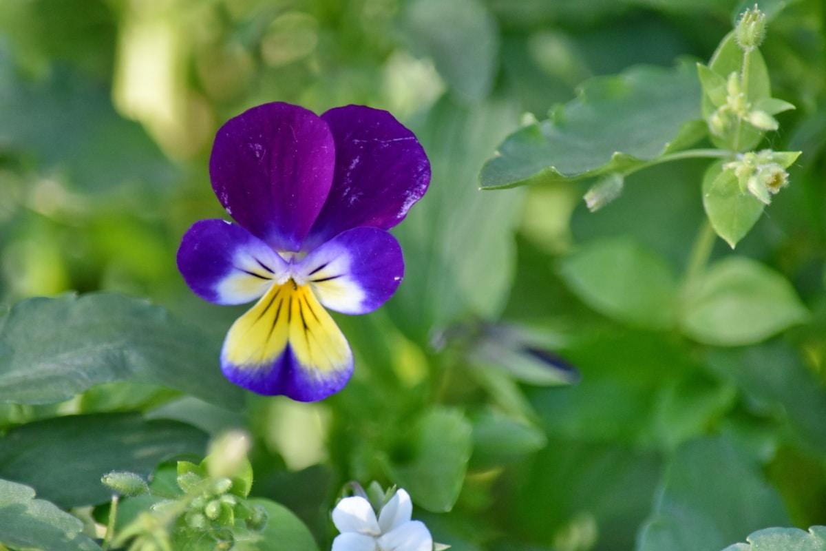 растителна, билка, флора, цветя, листа, виола, цвете, природата, градина, лято