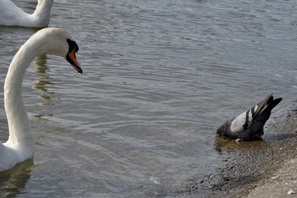 labuť, Vodné vták, vták, príroda, voda, vodné vtáctvo, jazero, voľne žijúcich živočíchov, pierko, hydina