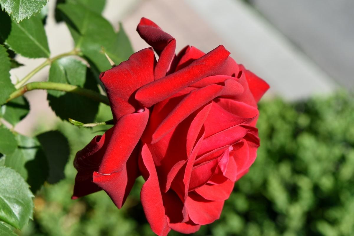 flower garden, garden, roses, vegetation, plant, petal, rose, flower, shrub, nature