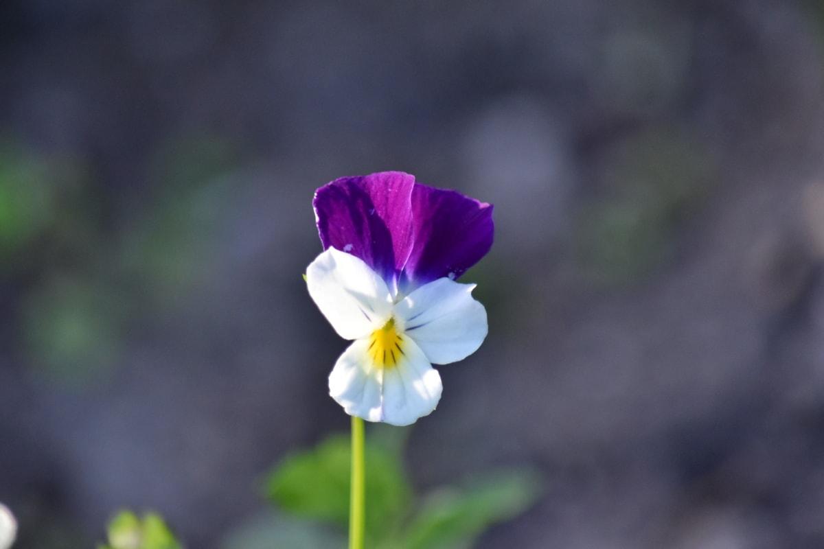 Taman, musim semi, ramuan, bunga, alam, Viola, kelopak, tanaman, mekar, daun