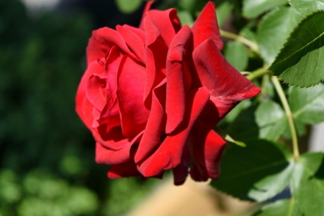 gardening, red, roses, spring time, nature, shrub, flower, rose, garden, plant