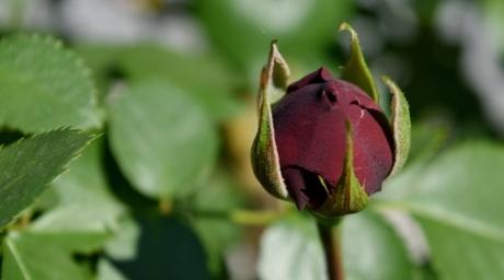 flor em botão, jardim de flor, flores, jardinagem, rosas, folha, rosa, natureza, flor, planta