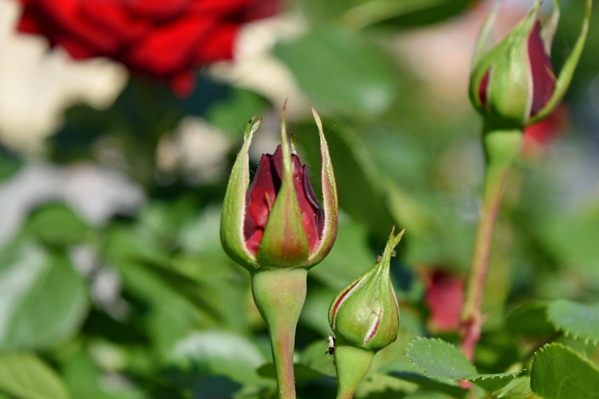 reddish, rose, shrub, bud, flower, plant, petal, nature, flora, leaf