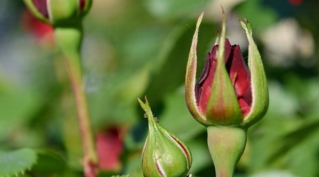 размазани, червен, природата, листа, растителна, градина, цвете, пъпка, флора, на открито