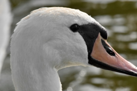 blurry, swan, feather, wildlife, waterfowl, aquatic bird, bird, nature, outdoors, water
