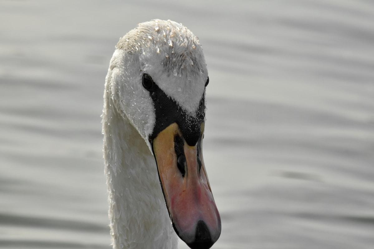 tête, à la recherche, cygne, Wet, faune, sauvagine, oiseau, Lac, oiseaux aquatique, eau