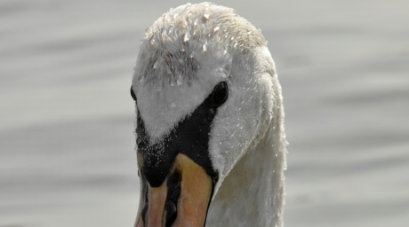 swan, water, wildlife, bird, aquatic bird, waterfowl, nature, lake, winter, animal