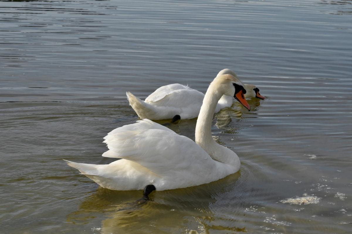 fuglen familie, innsjø, vann, svane, akvatiske fugl, vannfugler, fuglen, basseng, dyreliv, svømming