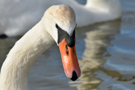 flock, zoology, swan, bird, wildlife, beak, waterfowl, water, aquatic bird, lake