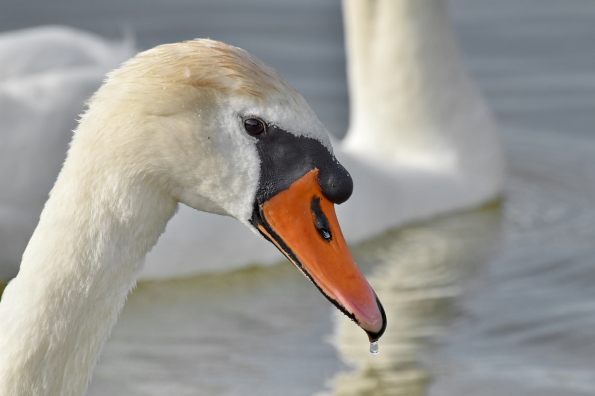 beak, detail, head, swan, water, wildlife, aquatic bird, bird, waterfowl, lake